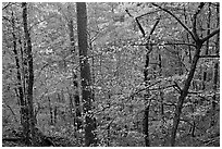 Deciduous trees in fall colors, West Mountain. Hot Springs National Park ( black and white)