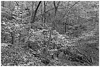 Trees in fall foliage, Gulpha Gorge. Hot Springs National Park ( black and white)