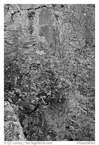 Shrub with red leaves, and moss-covered rock, Gulpha Gorge. Hot Springs National Park (black and white)