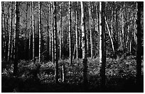 Birch trees near Mt Franklin trail. Isle Royale National Park ( black and white)