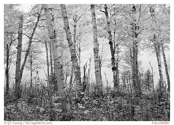 Birch trees in autum with branches blurred by wind. Isle Royale National Park (black and white)