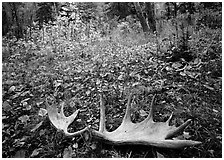 Fallen moose antlers in autumn forest. Isle Royale National Park, Michigan, USA. (black and white)