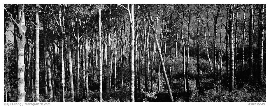 Birch north woods forest scene. Isle Royale National Park (black and white)