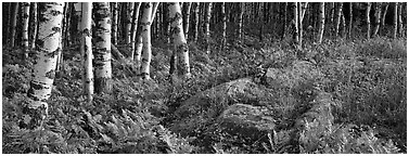Ferns and north woods forest in autumn. Isle Royale National Park (Panoramic black and white)