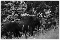 Bull moose in meadow. Isle Royale National Park ( black and white)