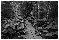 Boardwalk in forest. Isle Royale National Park ( black and white)