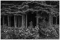 White blooms and dark forest. Isle Royale National Park ( black and white)