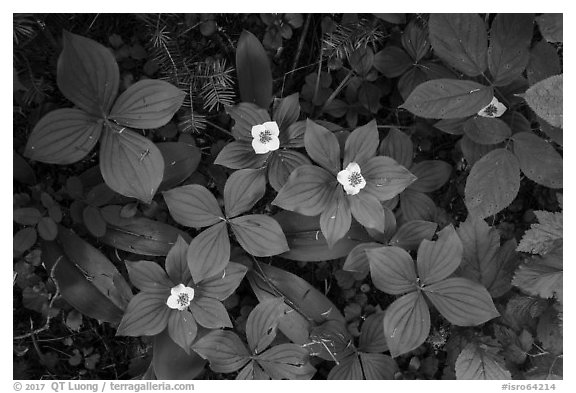 Forest undergrowth with white flowers, Passage Island. Isle Royale National Park (black and white)