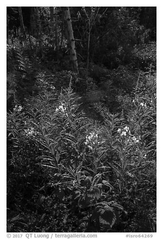 Backlit fireweed, Caribou Island. Isle Royale National Park (black and white)