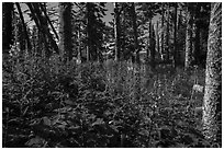 Dense forest vegetation in summer, Caribou Island. Isle Royale National Park ( black and white)