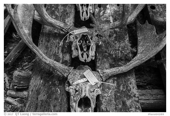 Moose skulls with identification label. Isle Royale National Park (black and white)
