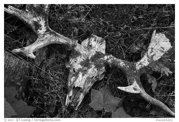 Moose skull with attached antlers. Isle Royale National Park (black and white)