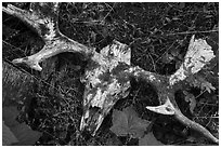 Moose skull with attached antlers. Isle Royale National Park ( black and white)