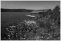 Fish House and wildflowers, Edisen Fishery. Isle Royale National Park ( black and white)