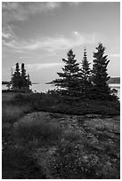 Yellow wildflowers, Moskey Basin, Rock Harbor in the distance. Isle Royale National Park ( black and white)