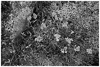 Close-up of wildflowers and lichen. Isle Royale National Park ( black and white)