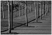 Rosehill Ash monoculture lining up curved pathways in winter. Gateway Arch National Park ( black and white)
