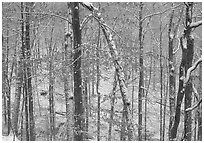 Trees in winter with snow and old leaves. Mammoth Cave National Park ( black and white)