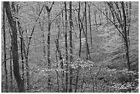Forest in fall color. Mammoth Cave National Park ( black and white)