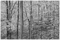 Deciduous trees with yellow leaves. Mammoth Cave National Park ( black and white)