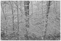 Drizzle and fall colors. Mammoth Cave National Park ( black and white)
