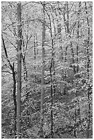 Trees with leaves turned yellow. Mammoth Cave National Park ( black and white)