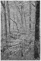 Forest with fall foliage. Mammoth Cave National Park ( black and white)