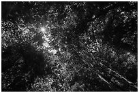 Looking up tree canopy in summer. Mammoth Cave National Park ( black and white)