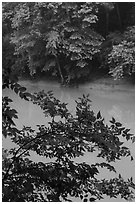 Vegetation and Green River. Mammoth Cave National Park ( black and white)