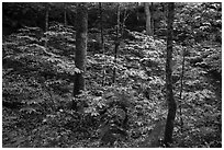 Dense vegetation in sinkhole near Turnhole Bend. Mammoth Cave National Park ( black and white)