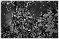 Close-up of limestone rocks and forest vegetation. Mammoth Cave National Park ( black and white)