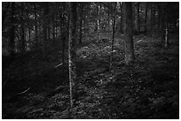 Fireflies in forest. Mammoth Cave National Park ( black and white)