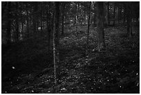 Synchronous fireflies in forest. Mammoth Cave National Park ( black and white)