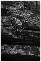 Limestone ledges and summer blooms. Mammoth Cave National Park ( black and white)