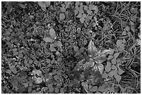 Close-up of forest undergrowth. Mammoth Cave National Park ( black and white)