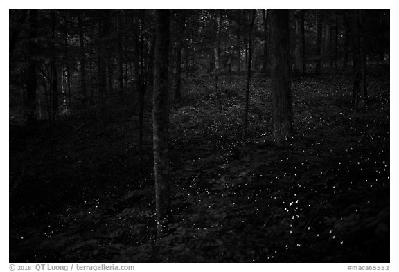 Lights of Synchronous fireflies in forest. Mammoth Cave National Park (black and white)