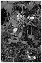 Flowers and Moss. Mammoth Cave National Park ( black and white)