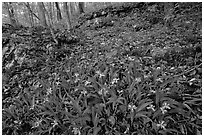 Crested dwarf irises. Mammoth Cave National Park ( black and white)