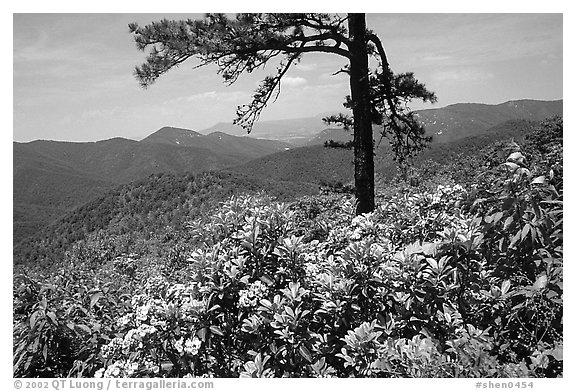 Rododendrons and tree from overlook on Skyline Drive. Shenandoah National Park, Virginia, USA.