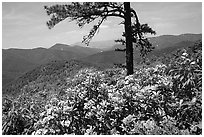 Rododendrons and tree from overlook on Skyline Drive. Shenandoah National Park ( black and white)