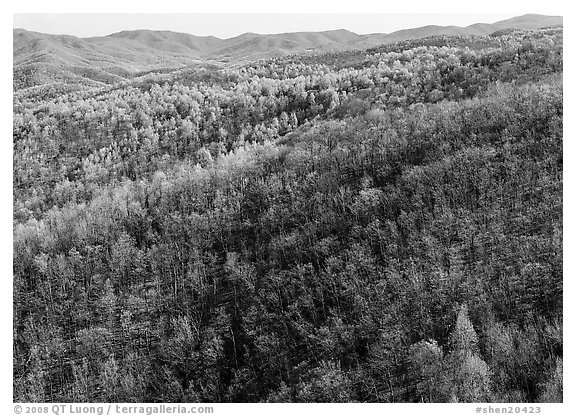 Hillside with bare trees and trees in early spring foliage. Shenandoah National Park (black and white)