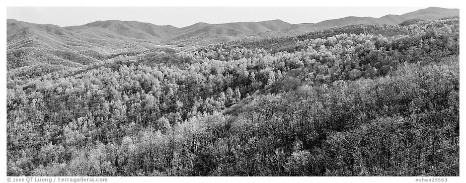 Hillside in early spring with some trees leafing out. Shenandoah National Park (black and white)