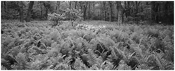 Tender green ferns and pink flowers in spring forest. Shenandoah National Park (Panoramic black and white)