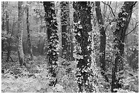 Foggy forest. Shenandoah National Park ( black and white)