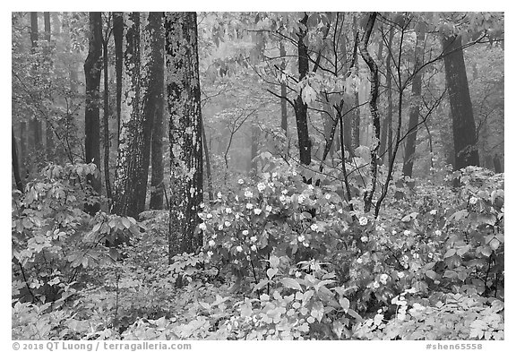 Blooms in foggy forest, Compton Gap. Shenandoah National Park (black and white)