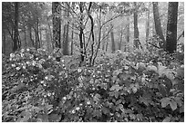 Blooms in misty forest, Compton Gap. Shenandoah National Park ( black and white)