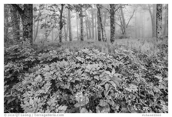 Wildflowers, forest, and fog near Little Hogback. Shenandoah National Park (black and white)