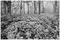 Wildflowers, forest, and fog near Little Hogback. Shenandoah National Park ( black and white)