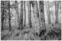 Lichen-covered tree trunks in foggy forest. Shenandoah National Park ( black and white)