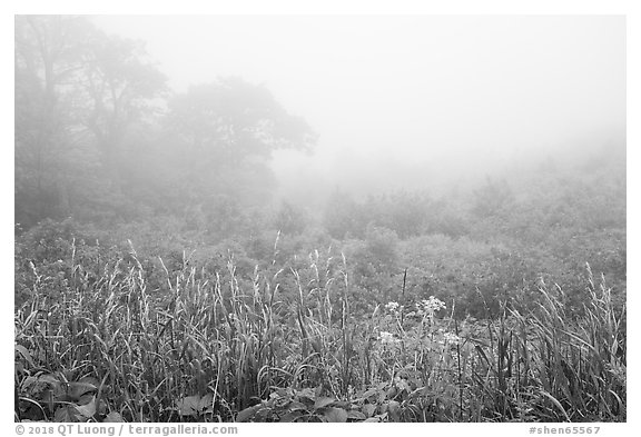 Meadow with wildflowers in fog, Little Hogback Overlook. Shenandoah National Park (black and white)